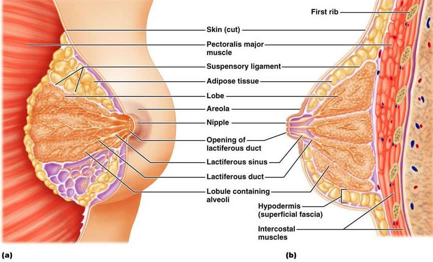 Breast Anatomy and Physiology - Santa Rosa - SRJC